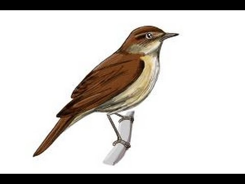 image stock How to draw a. Nightingale drawing bird