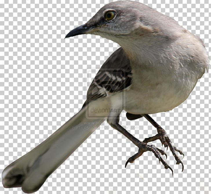 banner transparent To kill a common. Nightingale drawing mockingbird