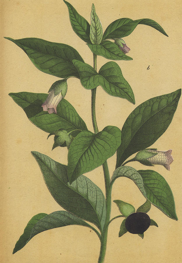 clipart black and white library Deadly atropa belladonna . Nightshade drawing