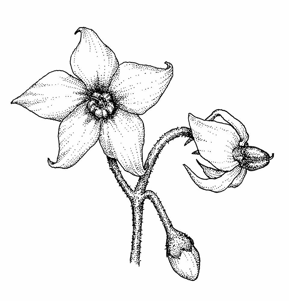 png library Nightshade drawing.  angel s trumpet