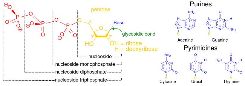 jpg free Difference Between Nucleotide and Nucleoside