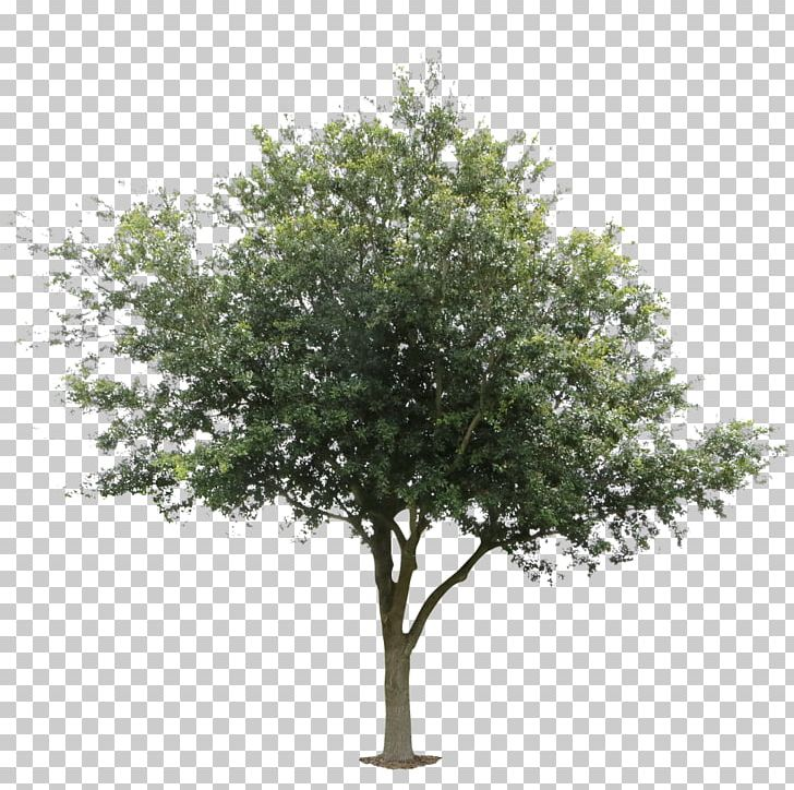png black and white Architecture black locust png. Oak clipart deciduous tree.
