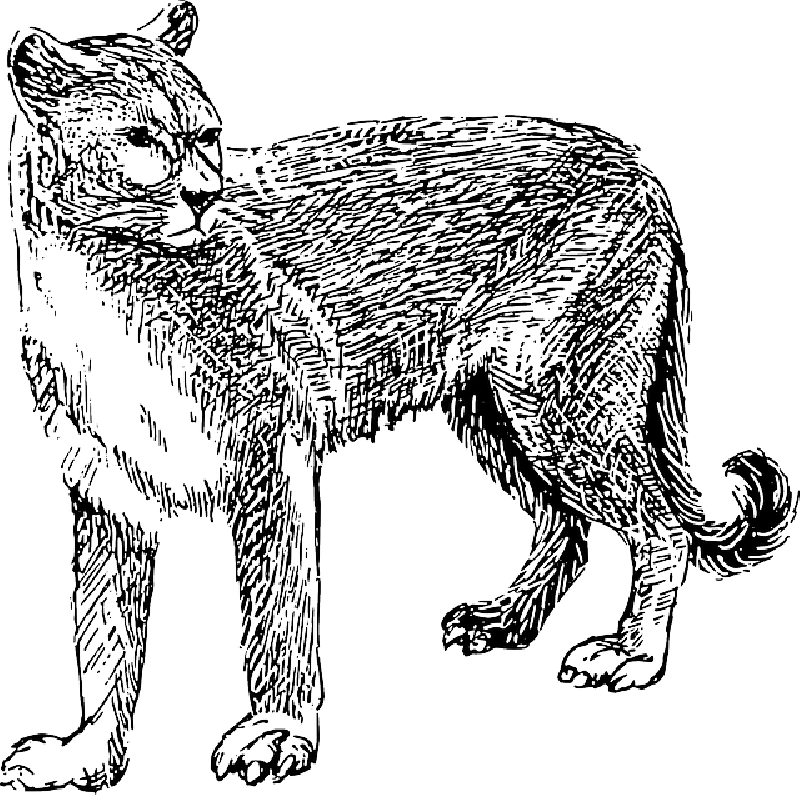 jpg black and white library Collection of free Cougar drawing cartoon