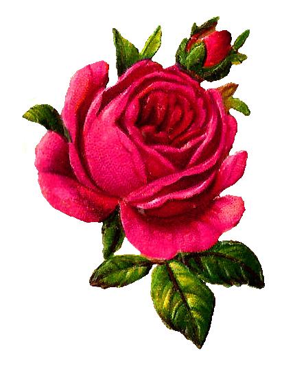 png free library digital botanical rose art