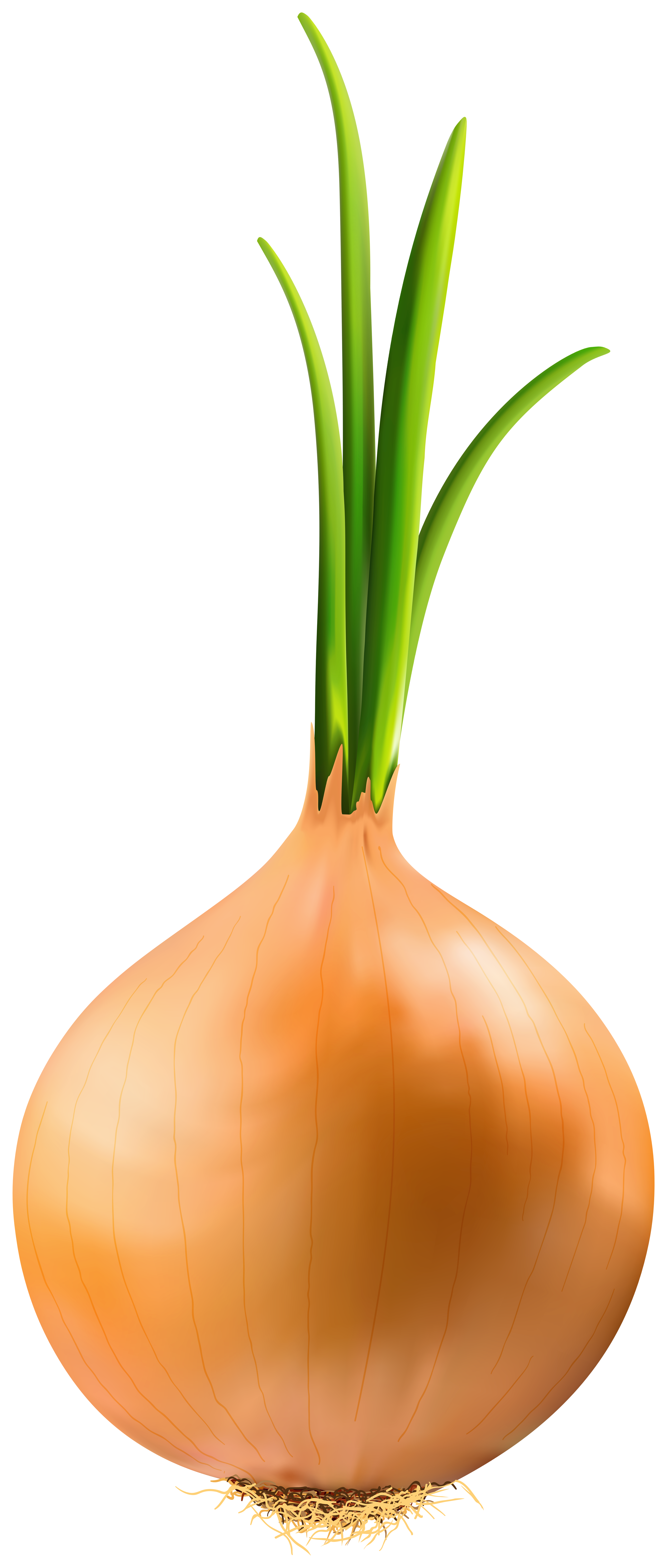 stock Onion clipart. Png image gallery yopriceville.