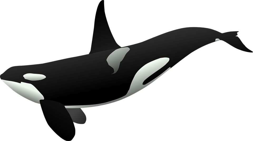 picture library Vector dolphin whale. Free image on pixabay