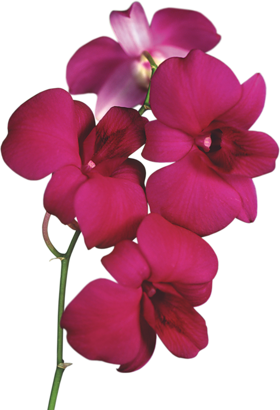 transparent download Transparent red png kwiaty. Orchid clipart