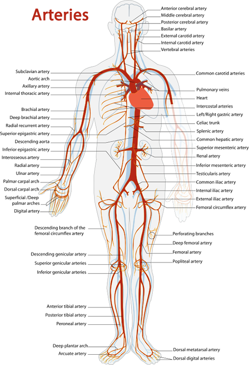 svg free library Cardiovascular system review key