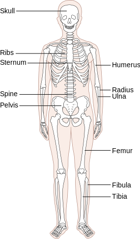 clip library stock What Are the Organ Systems of the Human Body