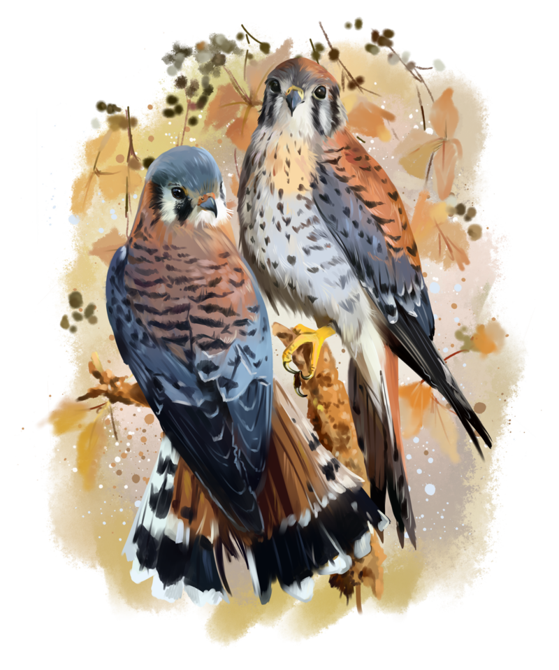 clip art library library American Kestrel watercolor painting by Kajenna