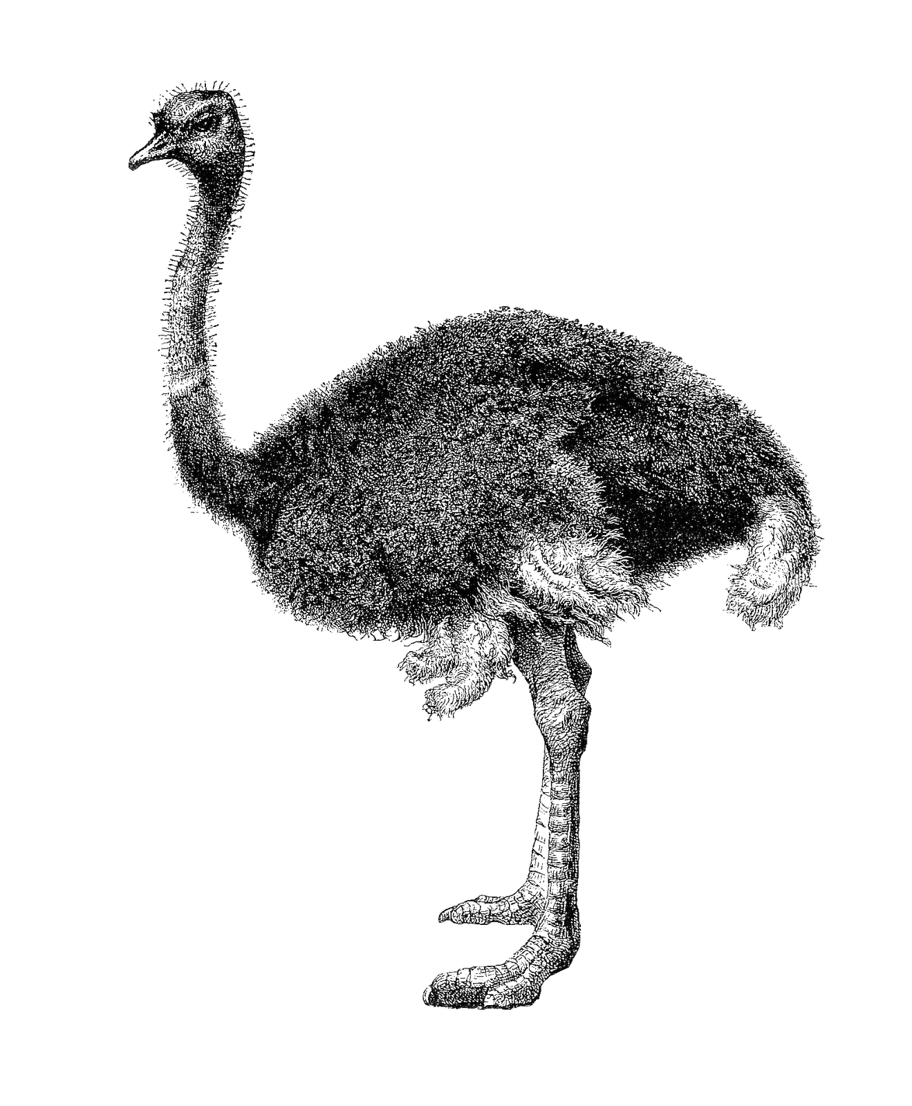 graphic freeuse stock Antique images free animal. Ostrich black and white clipart