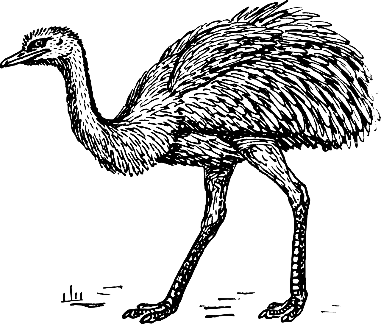 clip transparent stock Ostrich black and white clipart. Common bird greater rhea