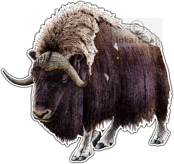 picture free download Musk Ox Drawing at GetDrawings
