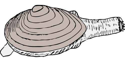 clip art free download Clam seafood shellfish mollusk. Oyster vector