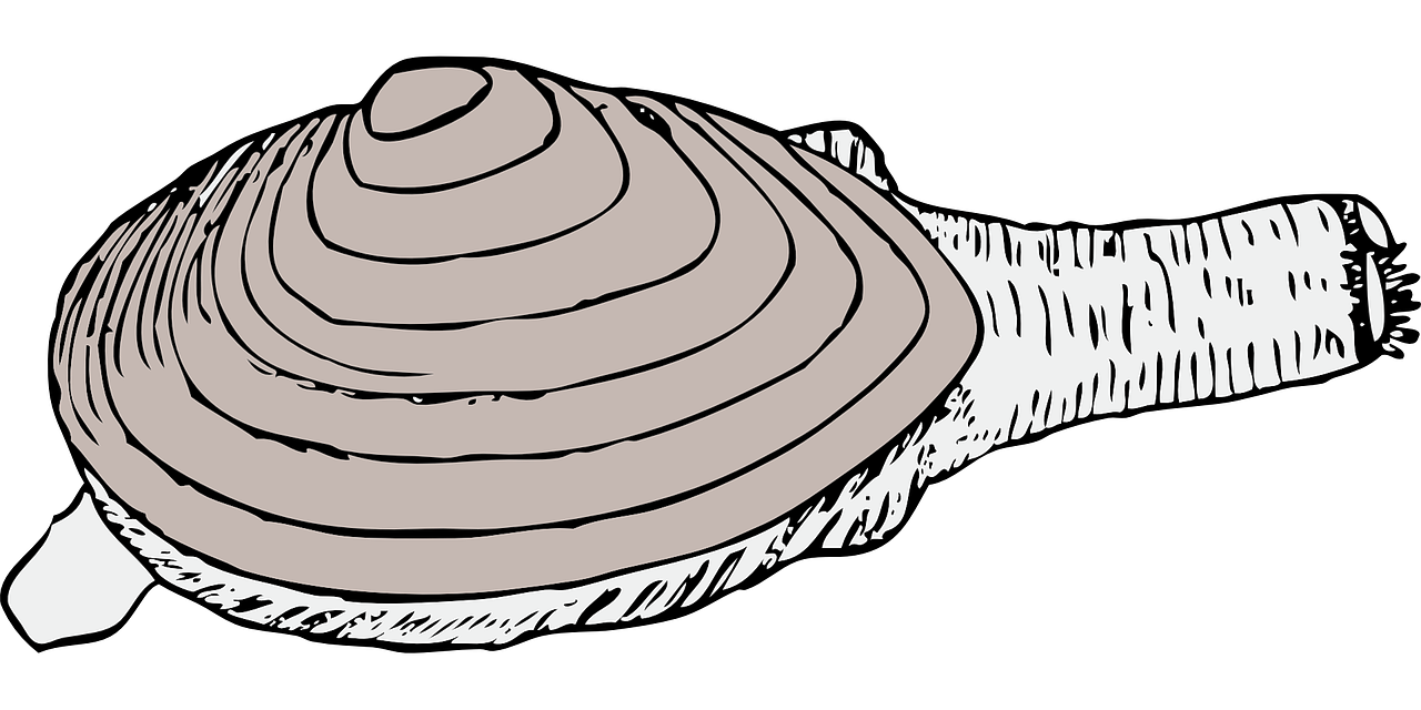 svg black and white library Oyster vector shellfish. Clam living shell mollusk