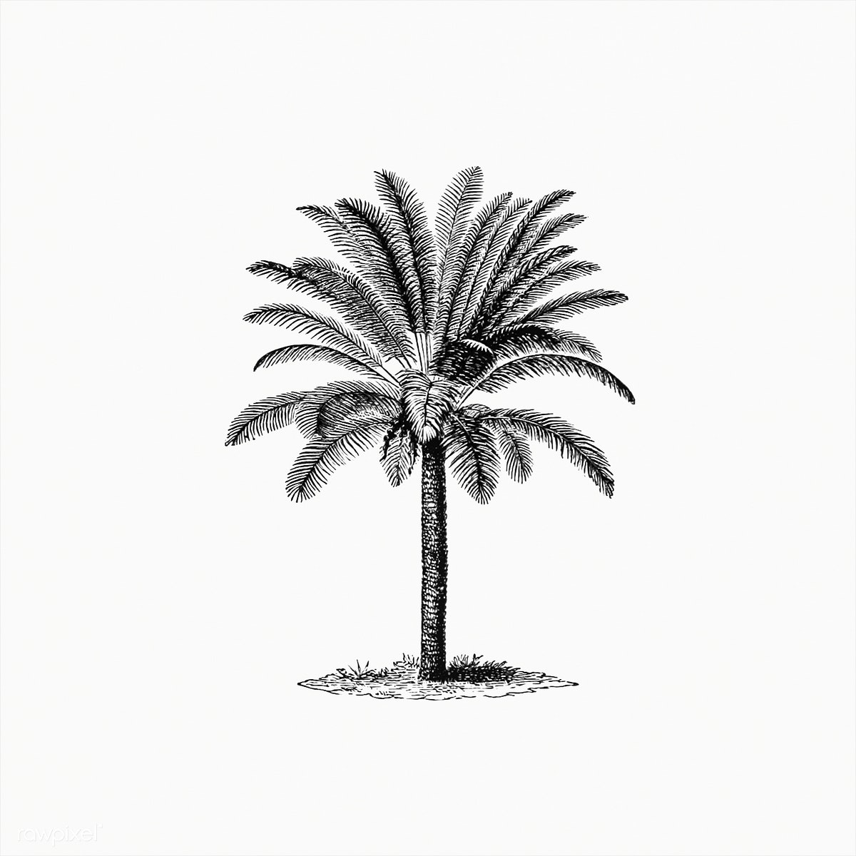 graphic free library Palm drawing tropical tree. Download premium illustration of.