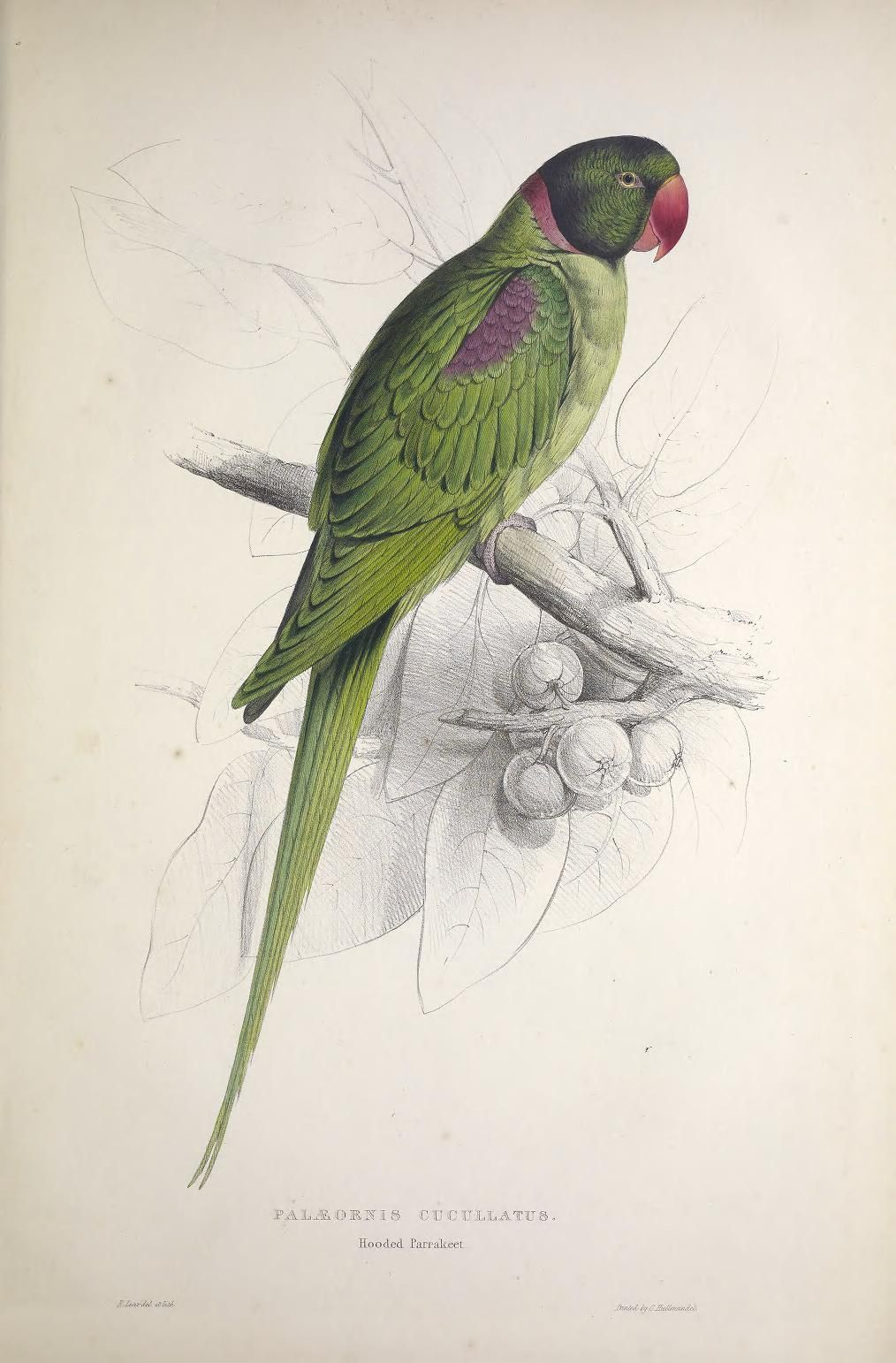 clip library download Illustrations of the psittacid. Parrots drawing family