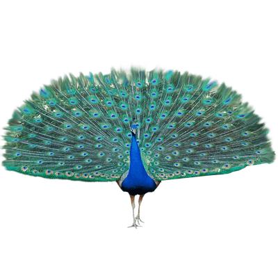 clip freeuse download Peacock clipart. Picok free on dumielauxepices.