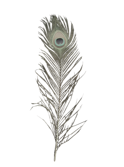 clip art royalty free library Peacock feather clipart black and white. Download free png transparent