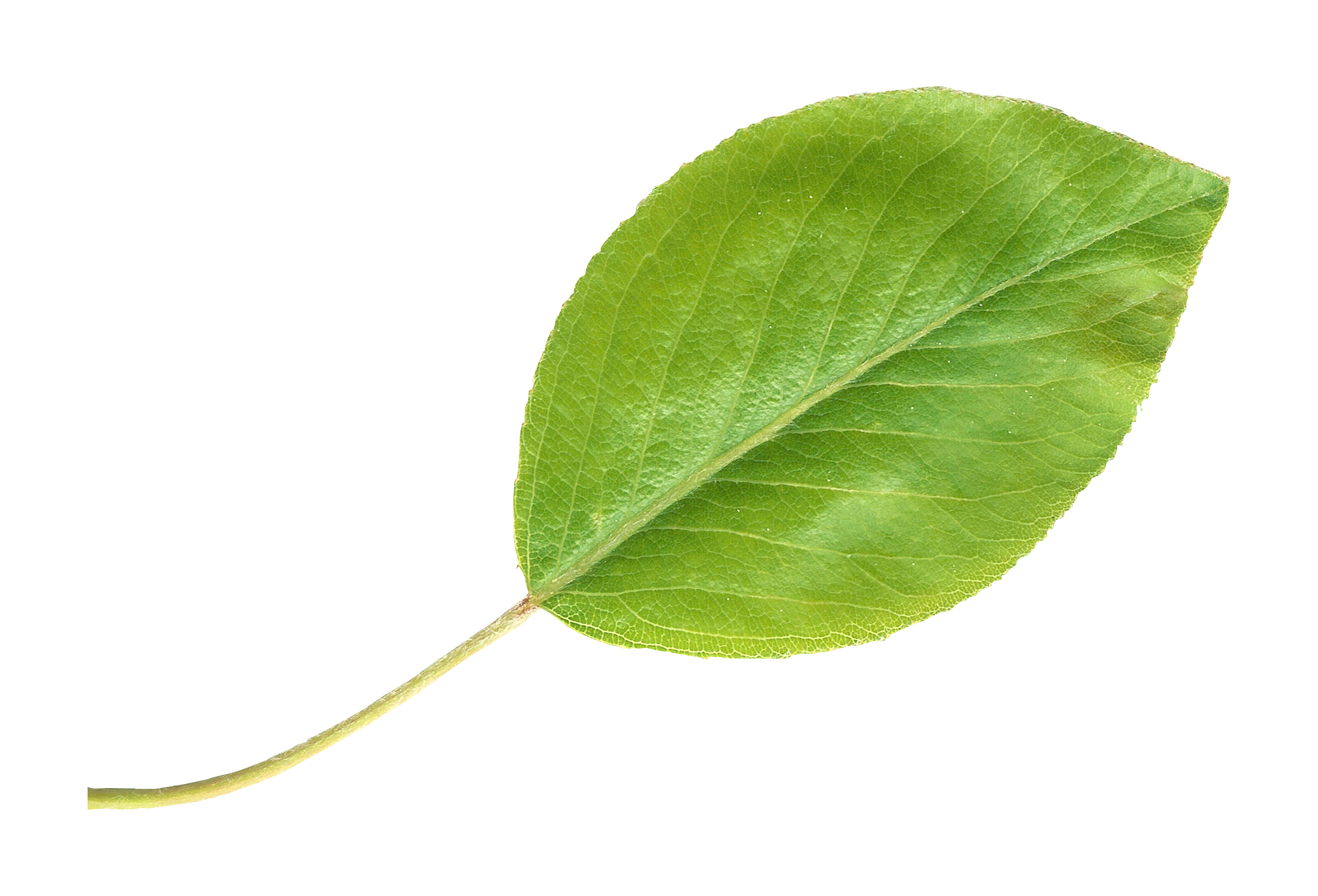 clip royalty free pear transparent leaf #114949815