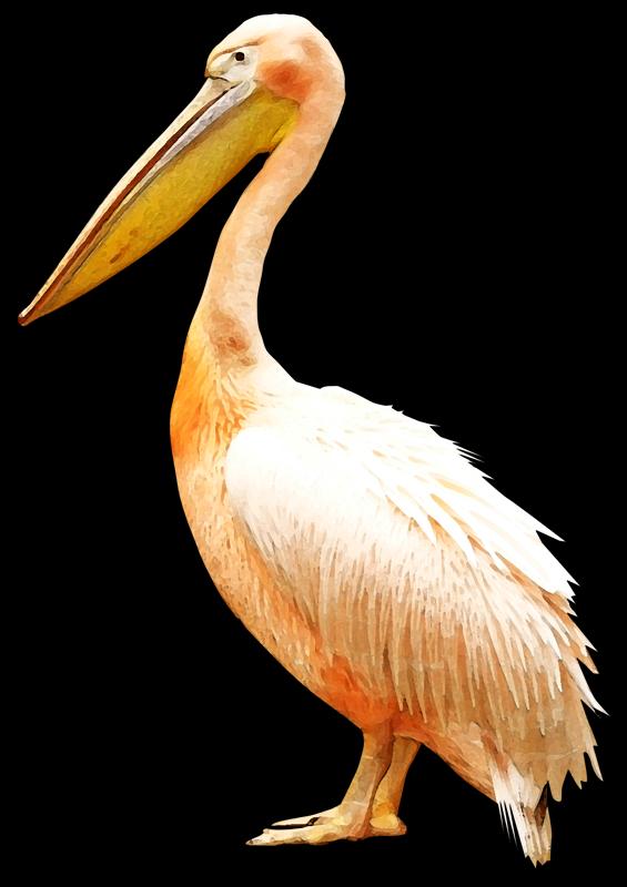 clip royalty free Bird Pelican Clip art