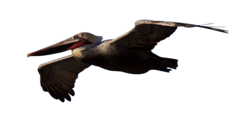 clip art library download Pelican PNG Transparent Images Image Group