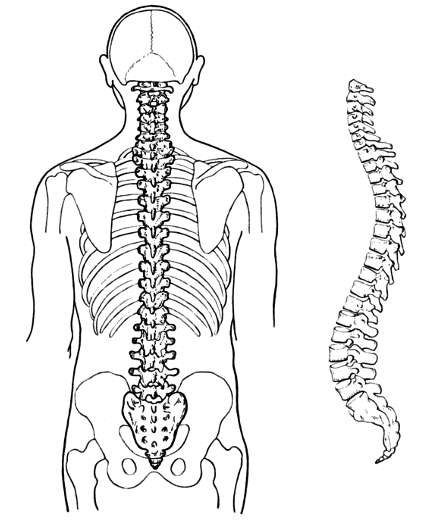 clipart royalty free download Collection of free skeleton. Drawing neck anatomy