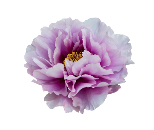 png transparent download Peony transparent background free. Peonies clipart