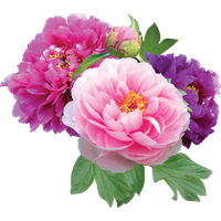 png black and white download Peonies clipart. Download peony free png