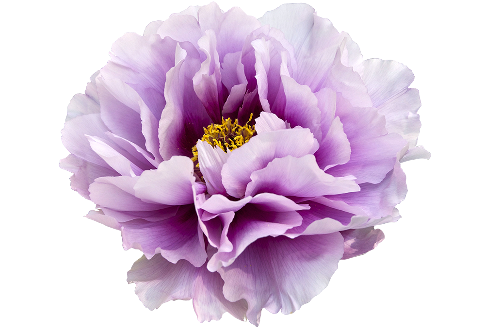 royalty free library Peony clipart boho. Violet clip art transparent
