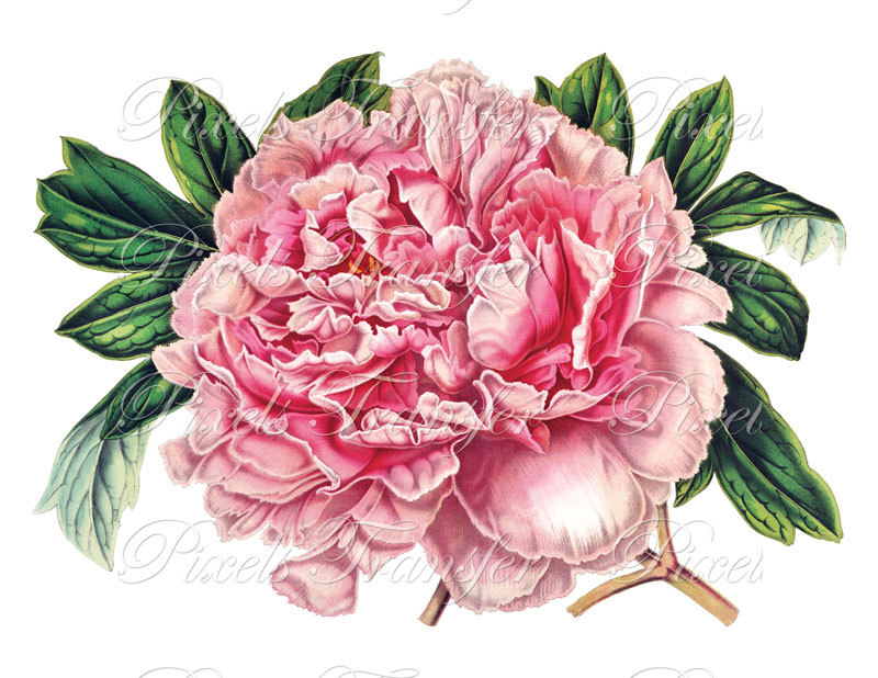 vector library download Peony clipart. Free cliparts download clip.
