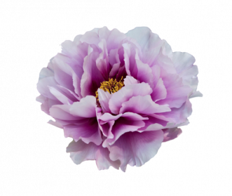 clip black and white Peony PNG Clipart