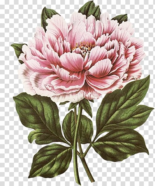 png transparent download Peony clipart illustrated. Pink flower art new