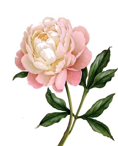 png transparent stock Photo invitations in flower. Peony clipart illustrated