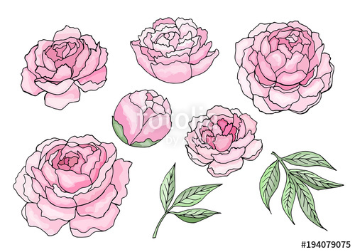 svg royalty free stock Peony clipart illustrated. Pink flowers and leaves