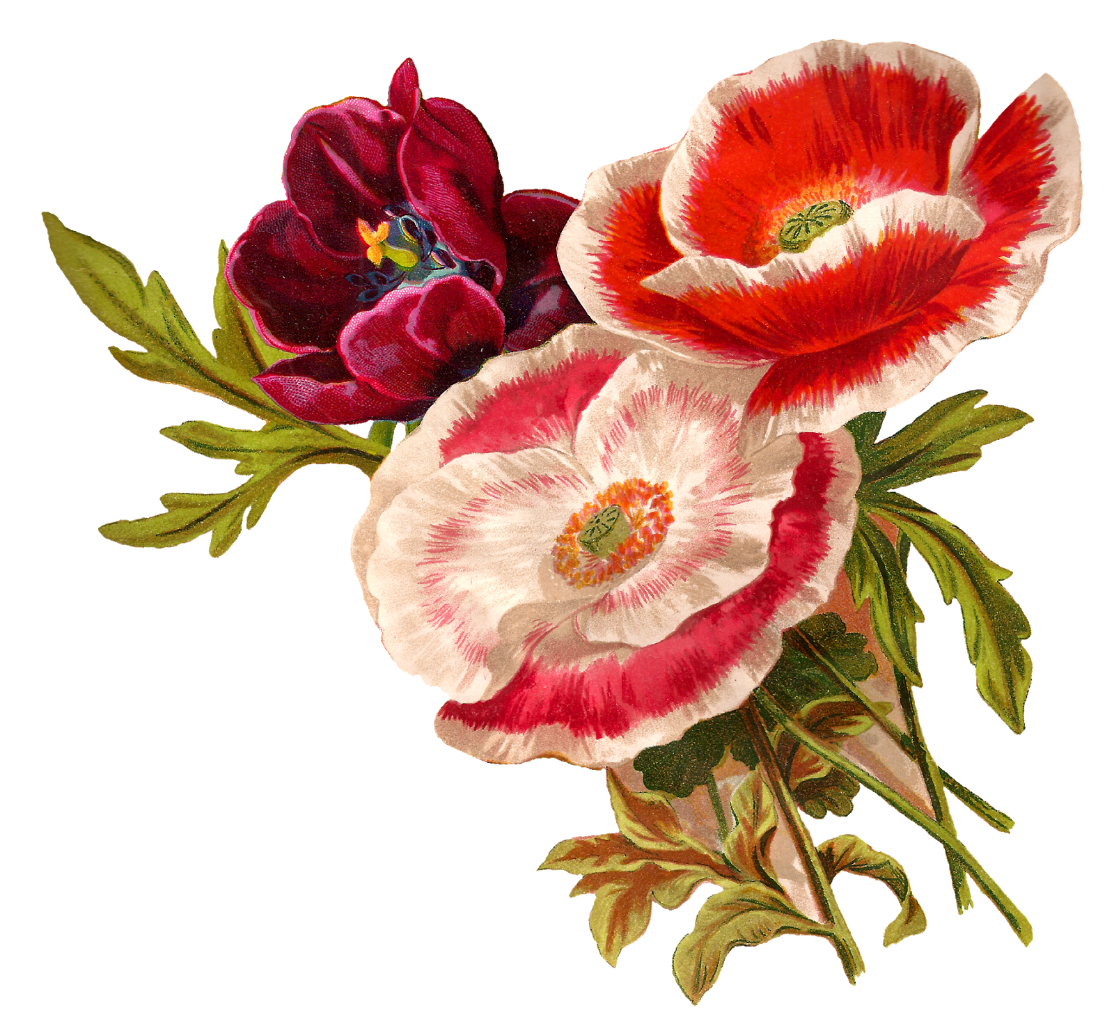 vector stock Peony clipart illustrated. Antique images vintage poppy