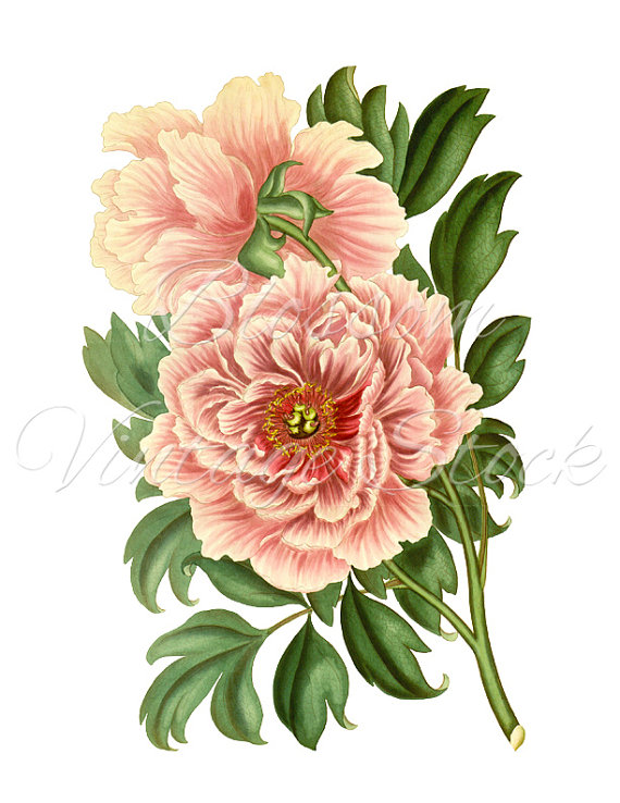 svg transparent stock Peony clipart illustrated. Vintage graphic pink digital