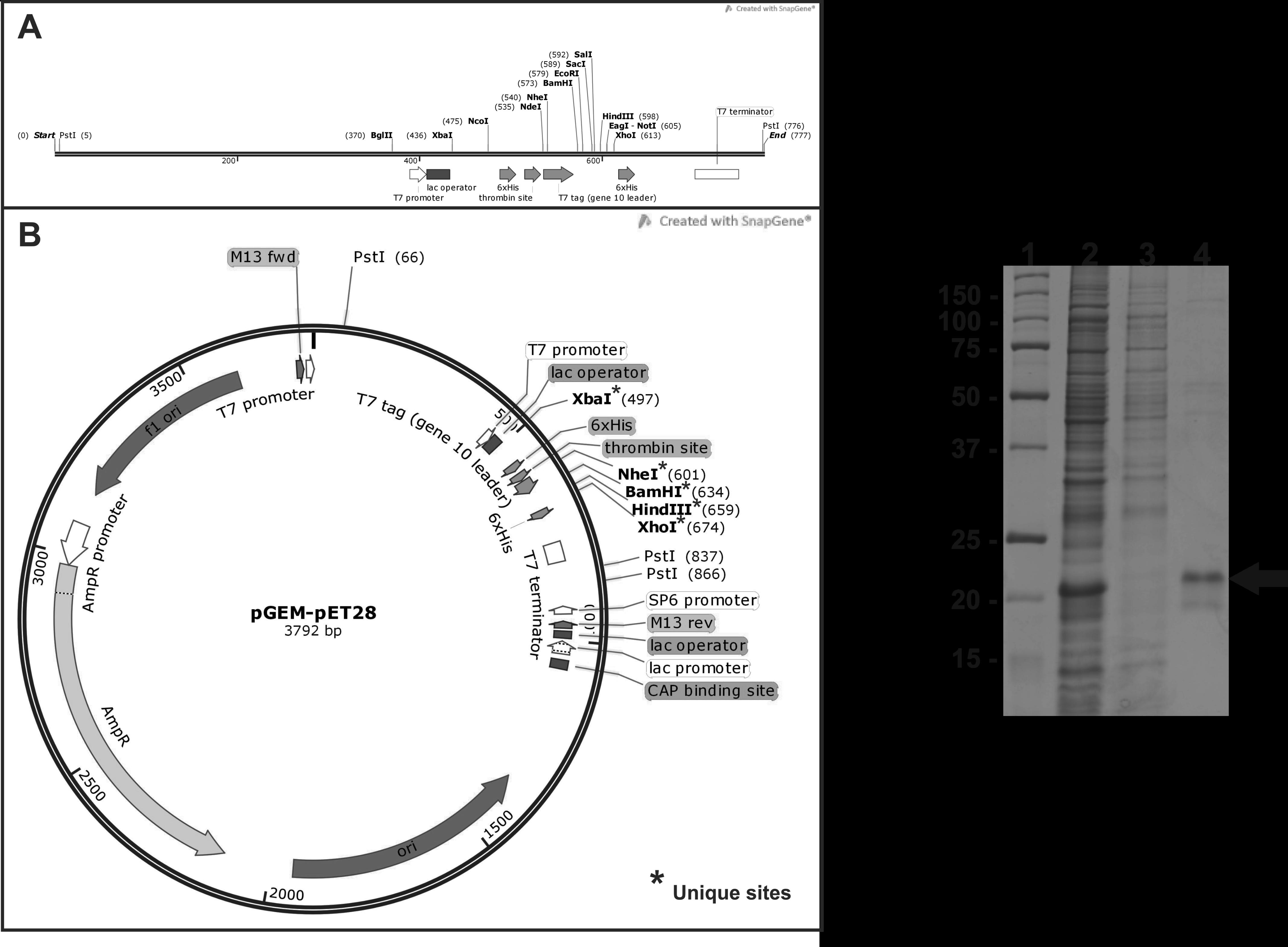 picture A hybrid plasmid pGEM
