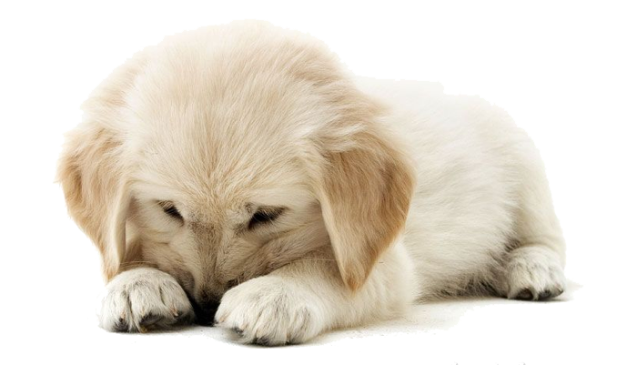 clipart royalty free stock Puppy png . Golden retriever clipart transparent