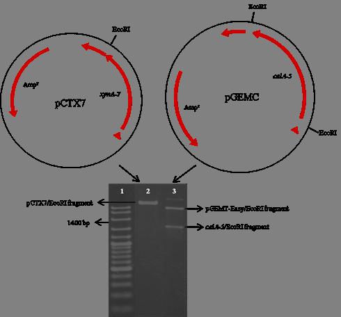 library Coexpression of rumen fungal. Pgemteasy vector