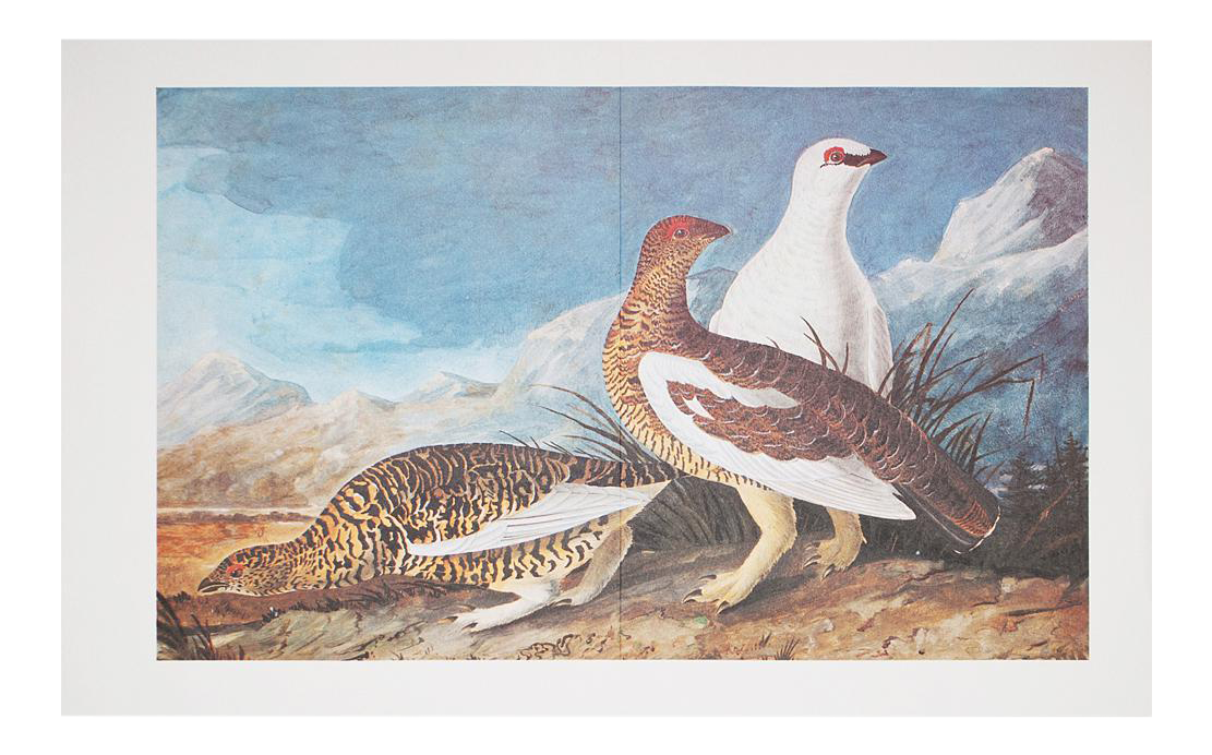 vector freeuse stock Audubon Print of Spotted Grouse