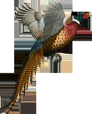 graphic transparent stock Ring Necked Pheasant