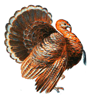 clip art library download Wild Turkey Drawing at GetDrawings