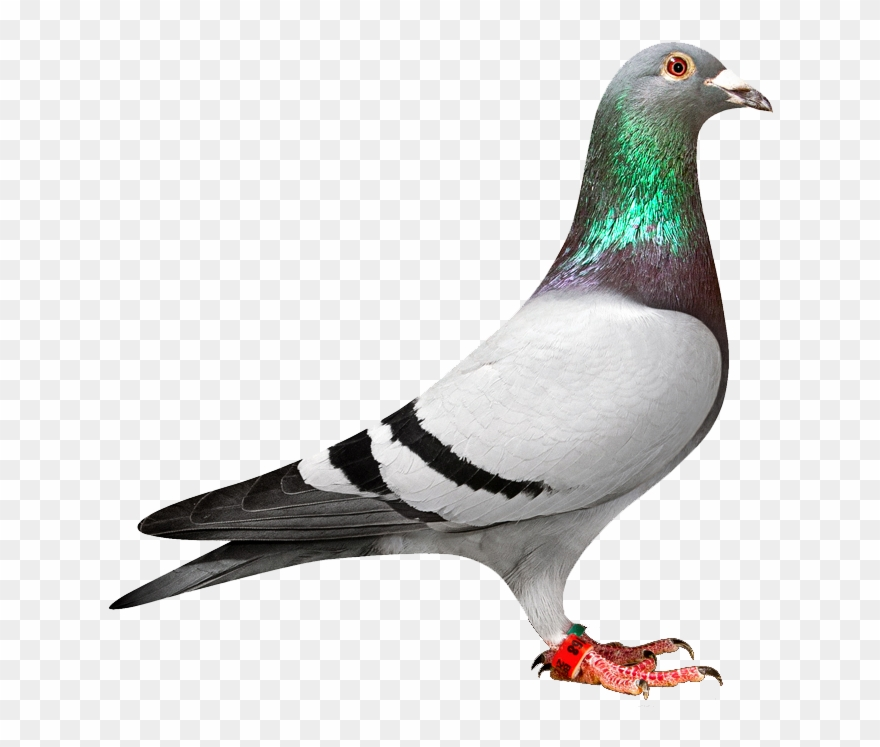 freeuse stock Pigeon clipart. Png transparent