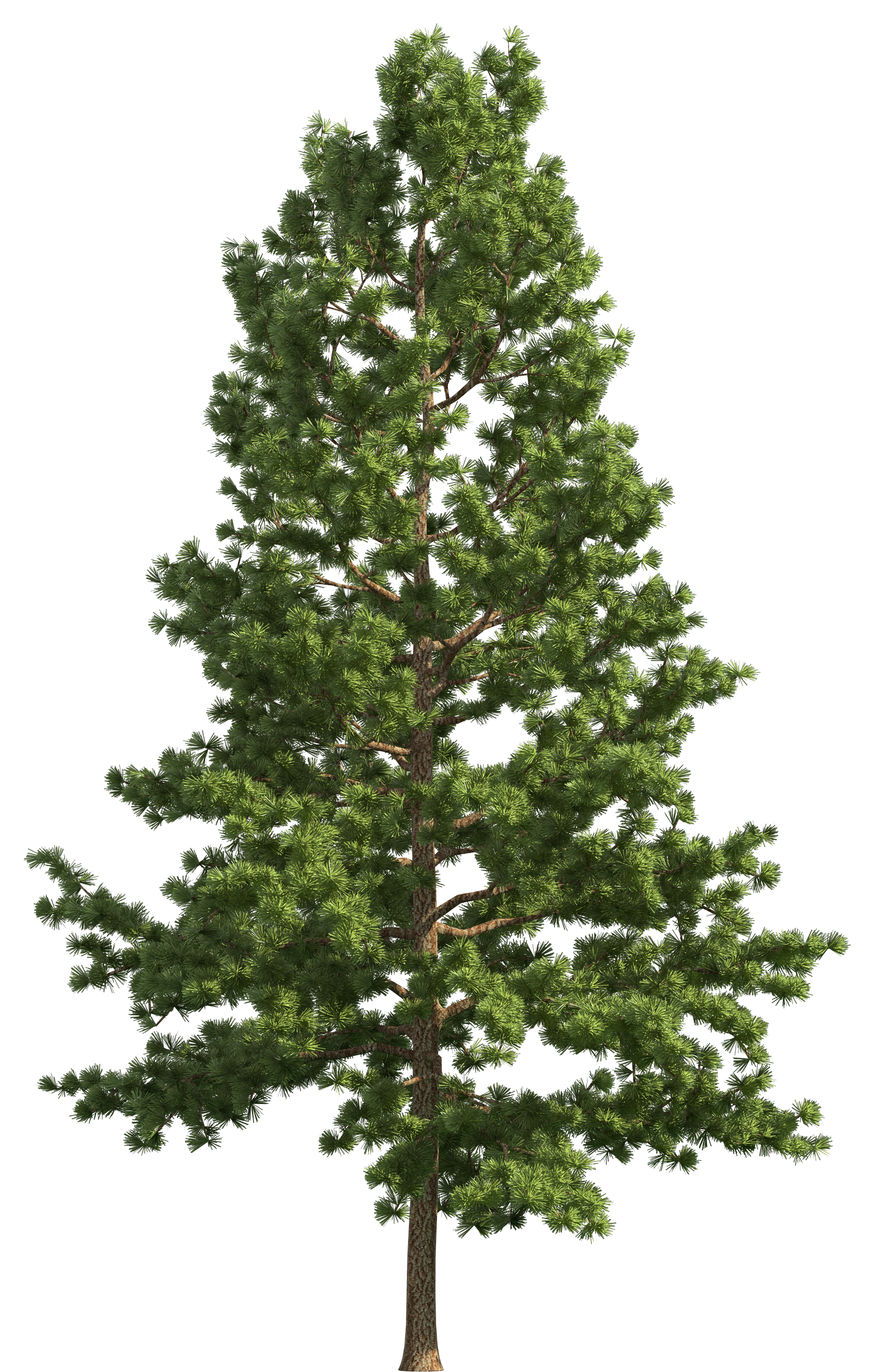 svg stock Realistic tree png clip. Pine clipart