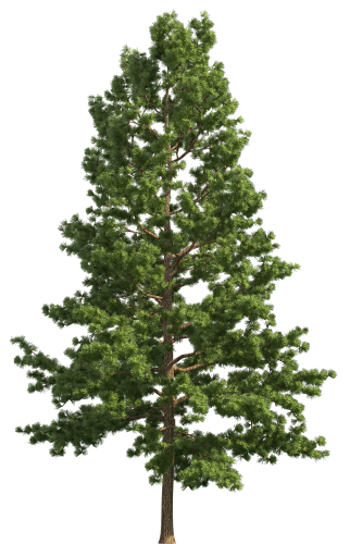picture transparent Pine Realistic Tree PNG Clip Art
