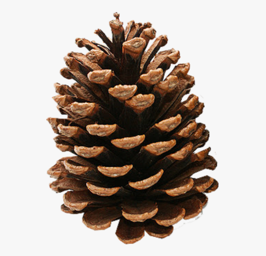 png black and white download Pine cone image download. Pinecone clipart.