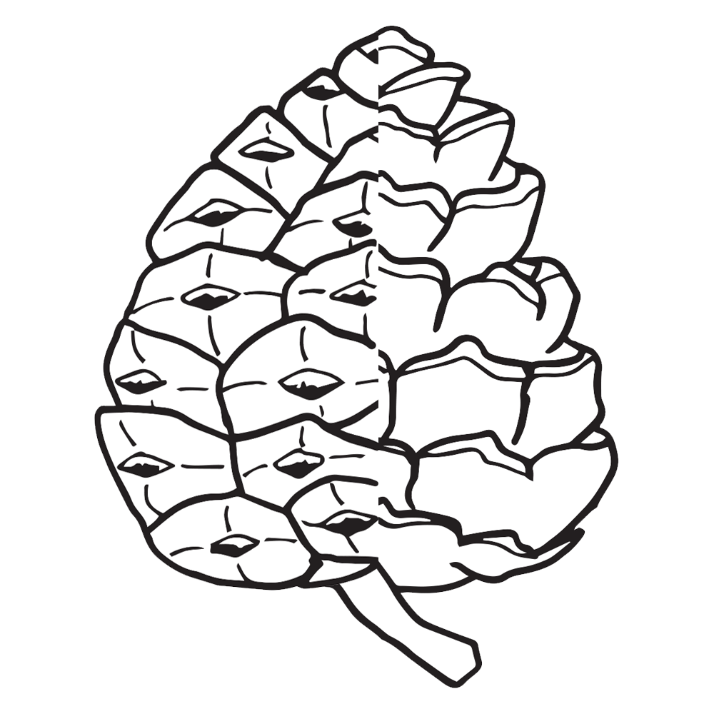image transparent Pinecone clipart black and white. Pine cone worksheets homeschool