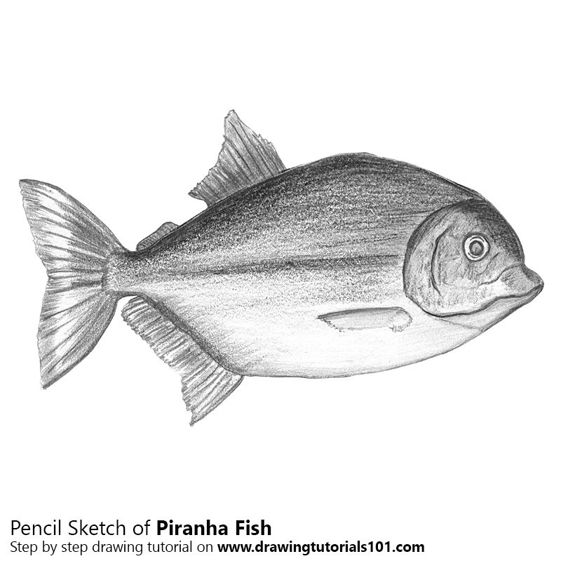 banner royalty free download How to sketch using. Piranha drawing pencil.