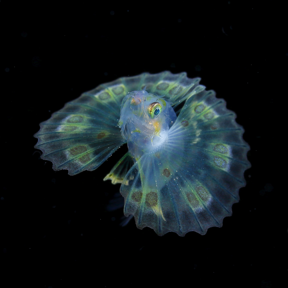 clip Stunning Underwater Photos of Microscopic Plankton by Ryo